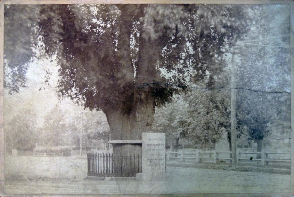 washington's tree3