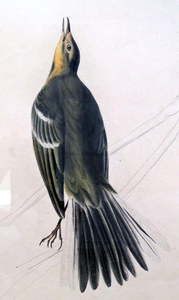 audubon yellow3