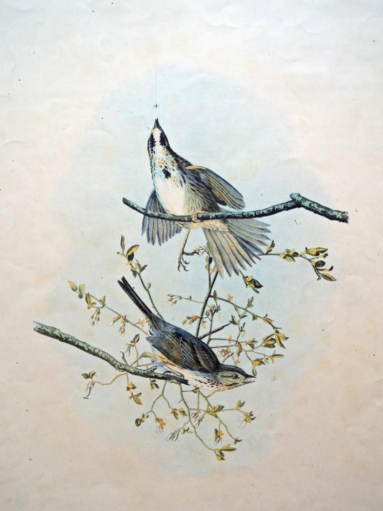 song sparrow3